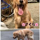 ゴールデンリトバー♀今月で1才 - 犬