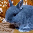 【終了】ウサギのネザーランドドワーフの赤ちゃん! - 横浜市