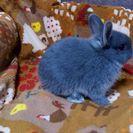 【終了】ウサギのネザーランドドワーフの赤ちゃん! - その他