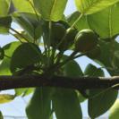 梨の実を1つずつにする摘果の作業 アンデルセン公園の近く