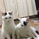 仲良し兄弟白ネコちゃん