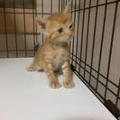 生後2ヶ月位の茶の子猫です