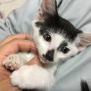 生後二ヶ月の子猫、里親さん募集です。