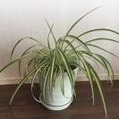 【譲ります】観葉植物 オリヅルラン!(大)(鉢付き)