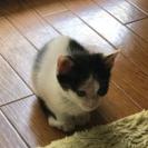 生後約2ヶ月、尻尾の先が白い子猫ちゃん。※相談中※