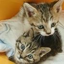 生後一ヶ月程度のオスの可愛い兄弟です。猫エイズ、白血病検査クリア済です。