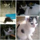 里親さん決定しました。生後一ヶ月くらいの子猫  - 猫