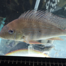 レッドヘッドゲオ 熱帯魚