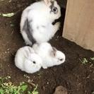 🐰子ウサギ里親募集🐰