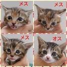 6/1まで募集一旦停止  可愛い子猫4匹の里親募集中!