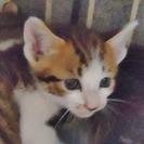 子猫1ヶ月ぐらいの白キジ