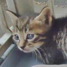 子猫1ヶ月ぐらいの黒キジ