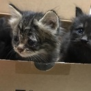 3匹の子猫ちゃんの里親募集