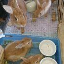 ミニウサギの里親を二名募集しています。