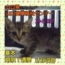 保健所収容(>_<)まだ生後1カ月位の子猫ちゃんです