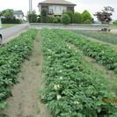 農産物収穫体験(ジャガイモ)