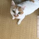 推定3歳、白茶の美人猫クインちゃんです!