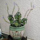 【ムベの庭先】プレクトランサス(シソ科) 苗、種お分けします