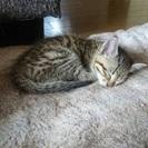 人懐っこい子猫(1ヵ月)