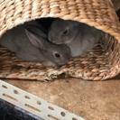 ミニウサギ(グレー)里親様2名に絞らせて頂いてます。