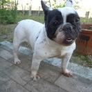 ・追伸②・ 迷子犬 【フレンチブルドッグ】 を保護しています。