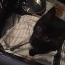 黒猫の子猫ちゃん♂(2ヶ月)