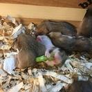 更新 5月26日ゴールデンハムスター赤ちゃん生まれました