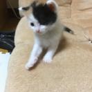 子猫用ミルク