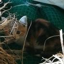 【佐野】推定生後1〜2ヶ月の三毛猫 野良猫の産んだ赤ちゃんを引き取...