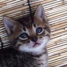 生後約一ヶ月の仔猫ちゃん 里親募集