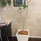 【値下げ】観葉植物 ウンベラータ