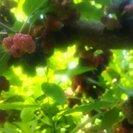 29年度 桑(マルベリー)の挿し木用の木 約20cm