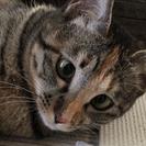 ムギワラ猫の女の子1才☆寄り目がかわいい麦茶ん