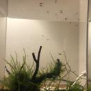 白メダカ♀が産んだ稚魚(1cm程度)