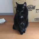 カワイイ黒猫を譲りたいです