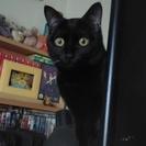 大柄な黒猫探しています!