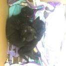 黒い子猫3匹の里親を探しています。