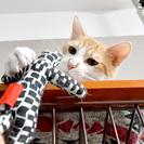 きれいな茶トラのかわいい猫です
