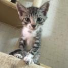♂2ヵ月半の子ネコもらってください。