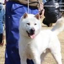 紀州犬 ショータイプのオス 2歳