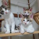 三毛猫3匹里親募集します