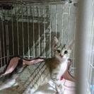 6月25日(日)の子猫の譲渡会に出します。ピューマみたいな美しいキ...