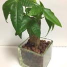 ハイドロカルチャー、観葉植物パキラ