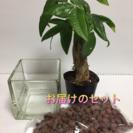 ハイドロカルチャー、観葉植物パキラ - 江戸川区