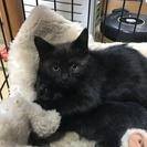 生後2ヶ月程の黒猫を2匹保護いたしましたので里親を募集いたします。