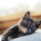 【受付一時停止中】生後1ヶ月のサビ猫ちゃん♀