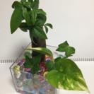 観葉植物ハイドロカルチャー、パキラ寄植え