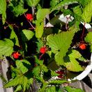 綺麗な実が付いたラズベリーの苗木、今から旬