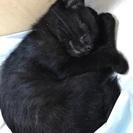 最後2ヶ月の黒猫 少し足が不自由ですが、元気です