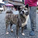 人懐っこいメスの秋田犬です